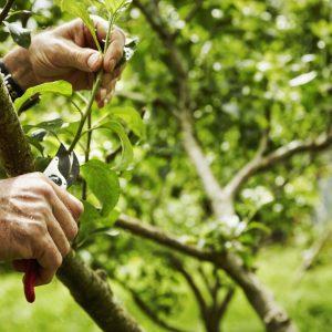 a-gardener-pruning-fruit-trees-with-secateurs-X7MVUUM