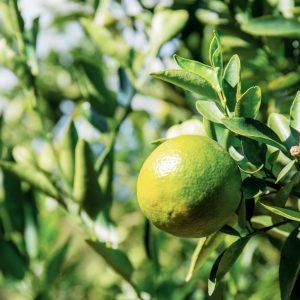 orange-on-tree-9U5BT7R