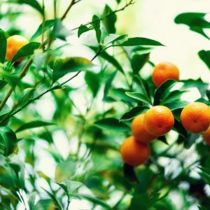 orange-tree-with-whole-fruits-fresh-oranges-on-bra-NLPY9TV