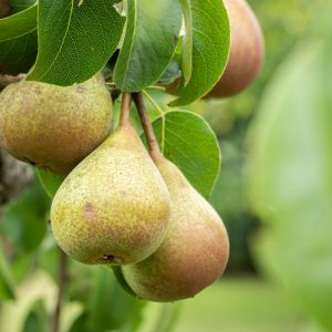 ripe-pear-fruit-on-a-tree-ND5XWK5