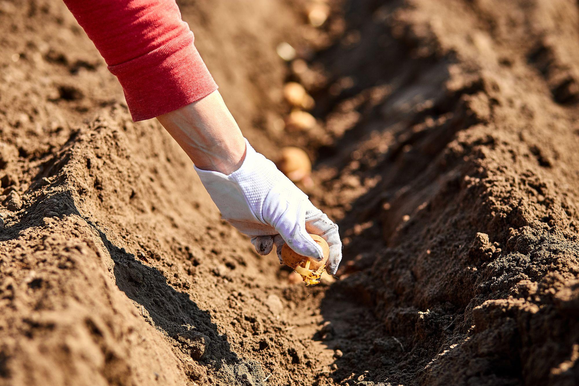 woman-hand-planting-potato-tubers-into-the-ground-UZJXAWF